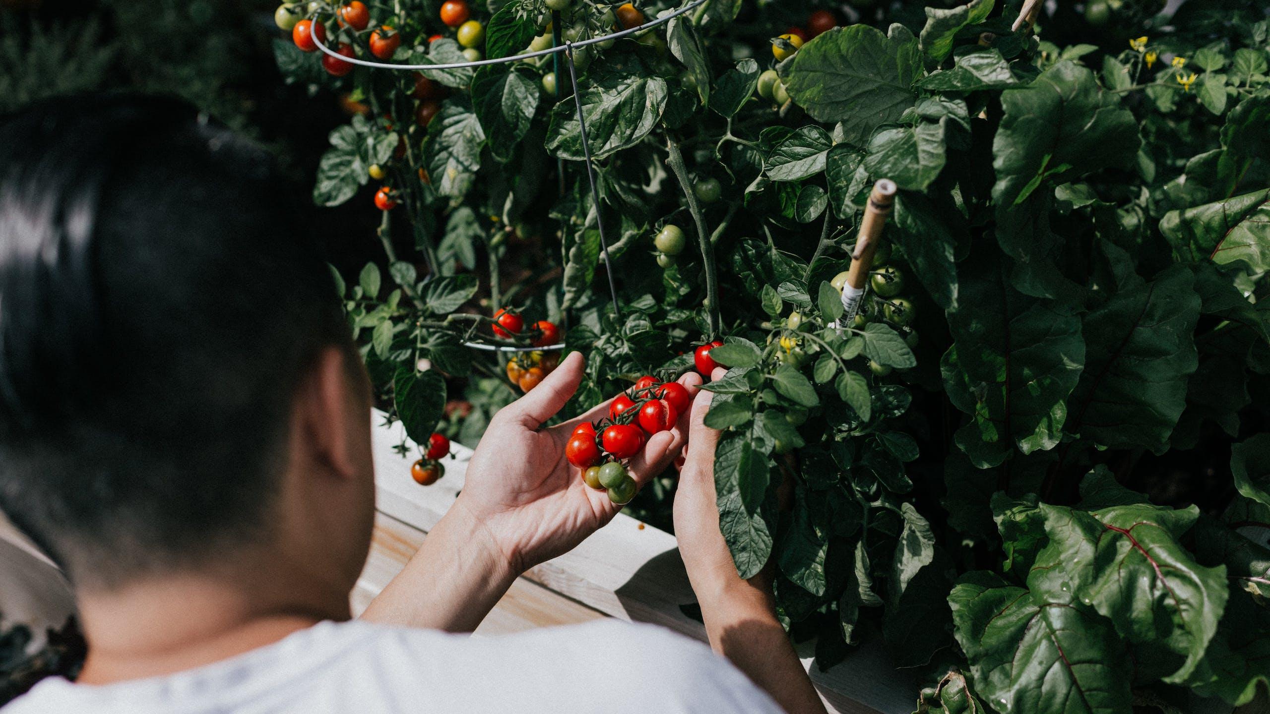 homme qui cultive tomates cerises