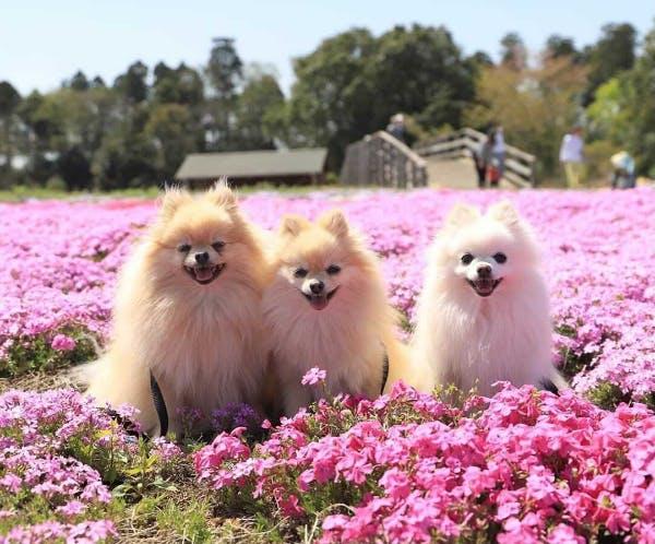 お花畑で笑顔のこむぎちゃん、ましろちゃん、ちくわくん(@saka1220m)