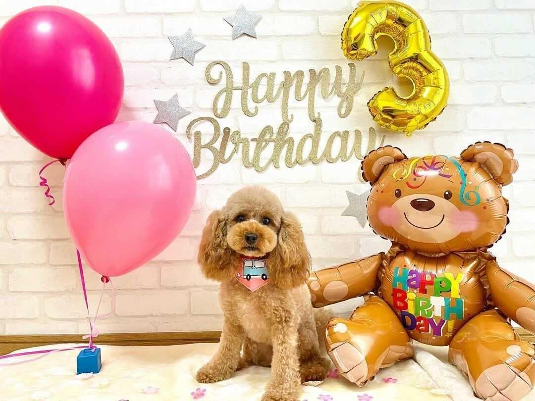 📸:3歳のお誕生日、お転婆プティちゃん(@ciel.petit.poodiary)