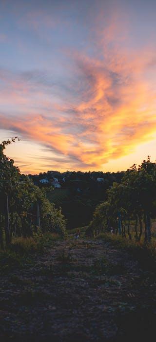 vineyard - Les Grappes