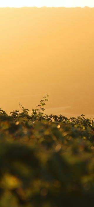 Vineyard Champagne Les Grappes