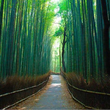 A leaf-strewn path through a green bamboo forest
