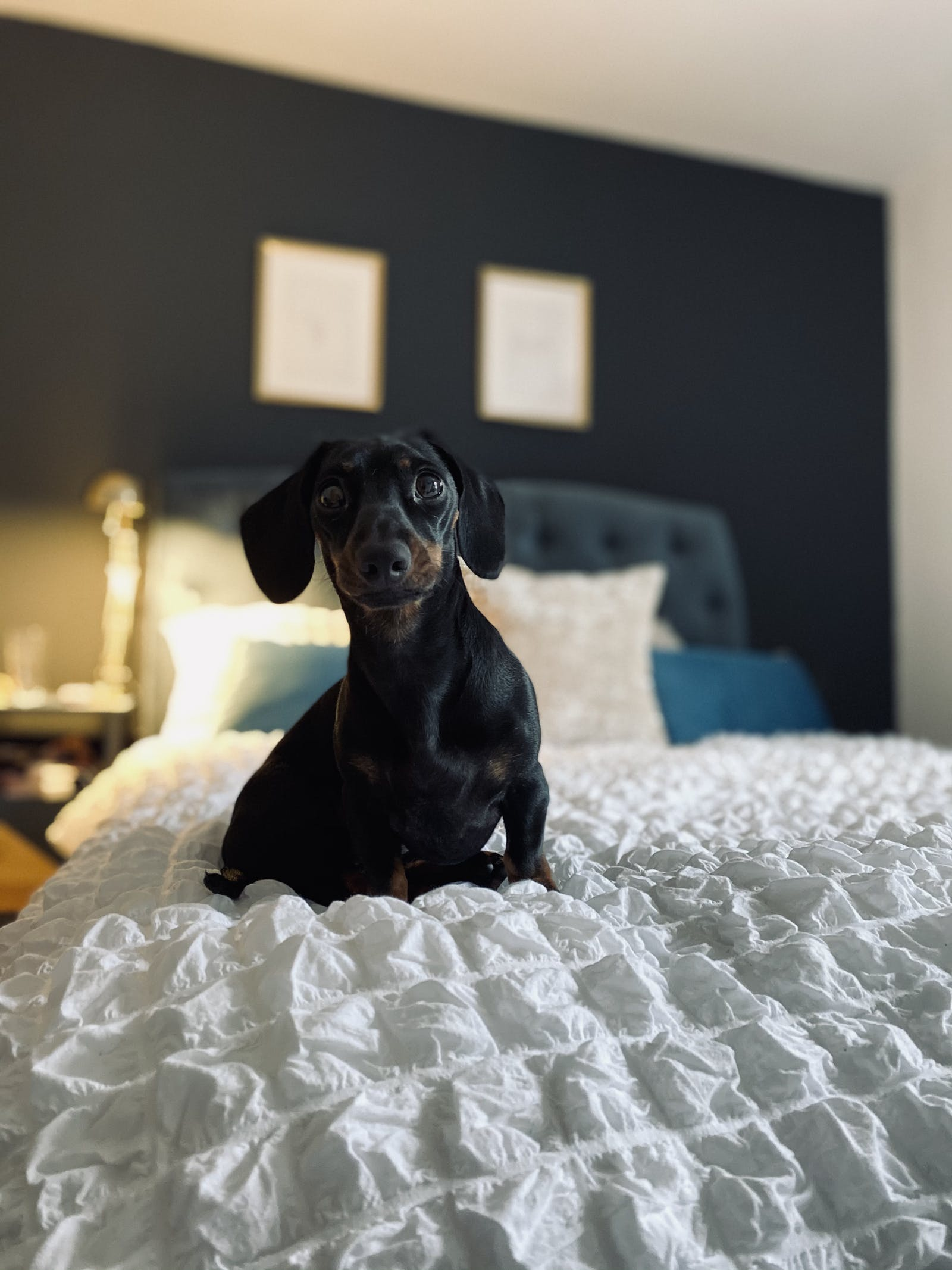 Dog sitting on a bed in bedroom painted with Black 01