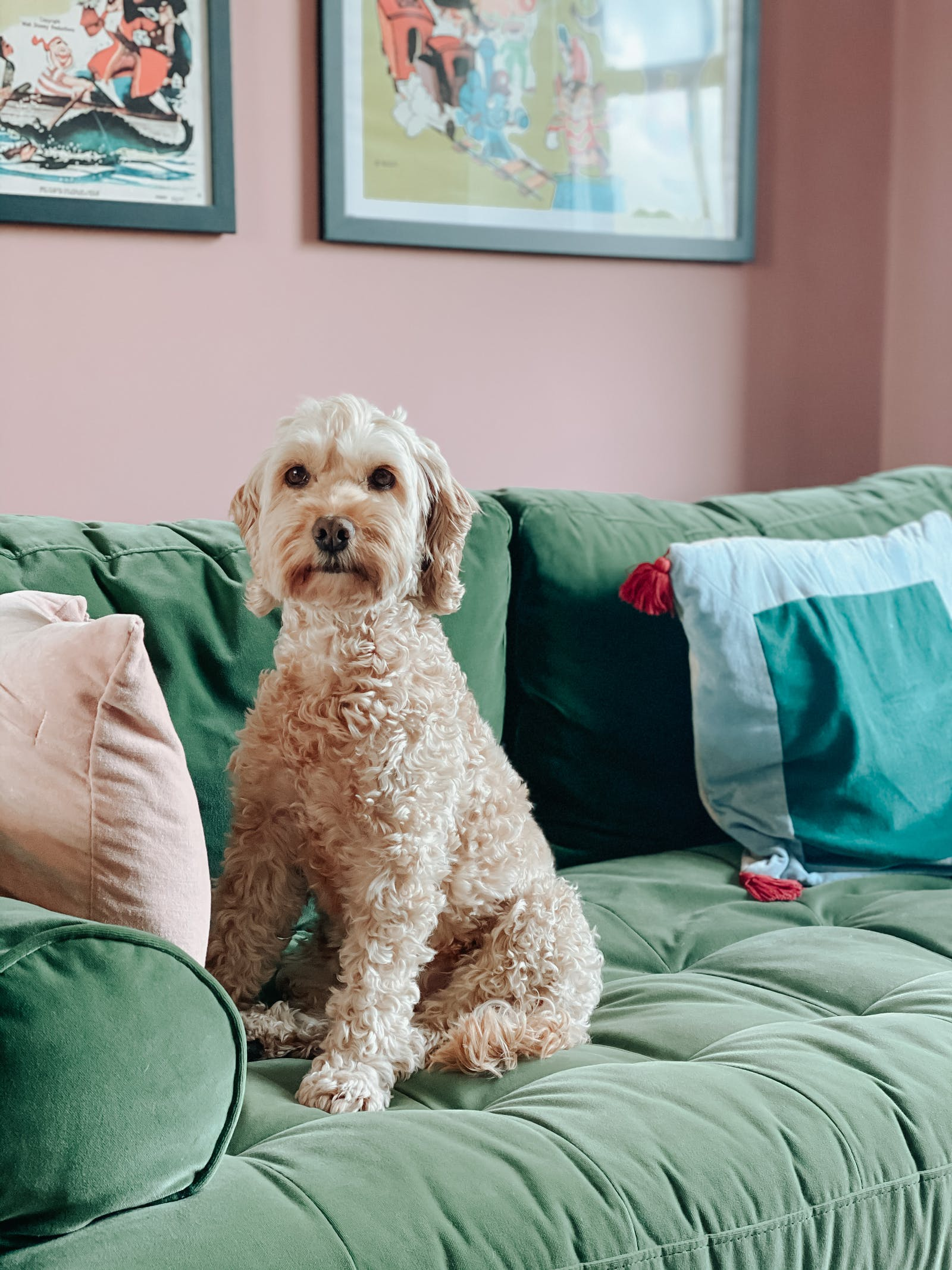 Cockapoo on green velvet sofa against a rose pink wall