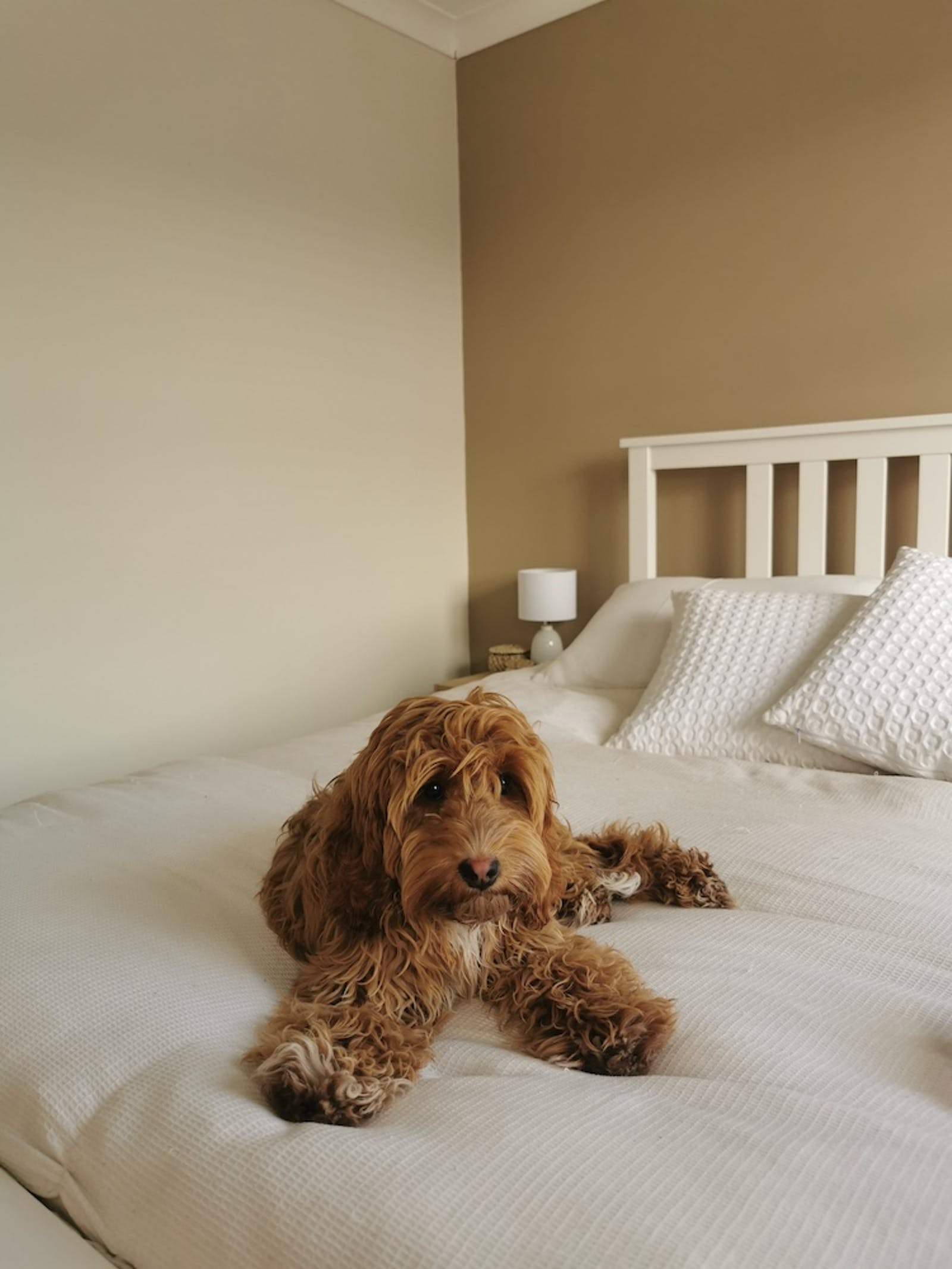 Dog lying on bed in bedroom painted in Lick Beige 02