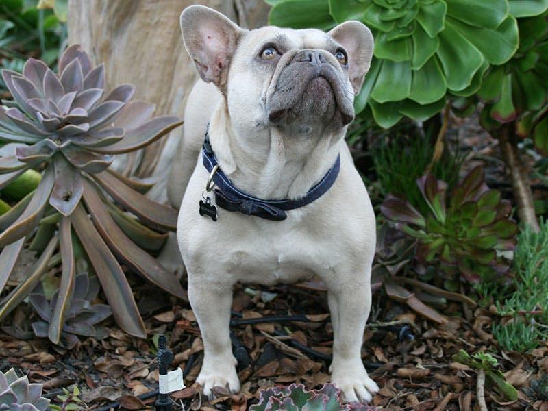 French Bulldog Breeder Northern California