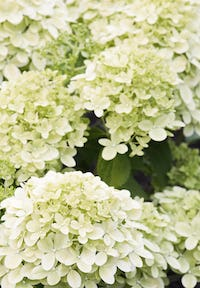 Hydrangea paniculata Living Little Passion®