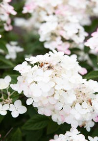 Hydrangea paniculata Living Touch of Pink