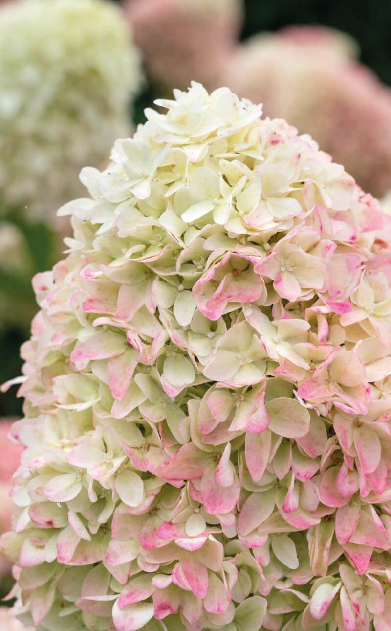 Hydrangea Living Summer Love®
