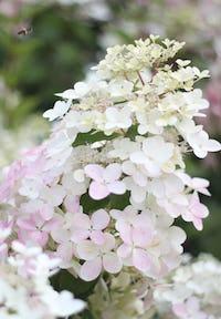Hydrangea paniculata Living Angels Blush®