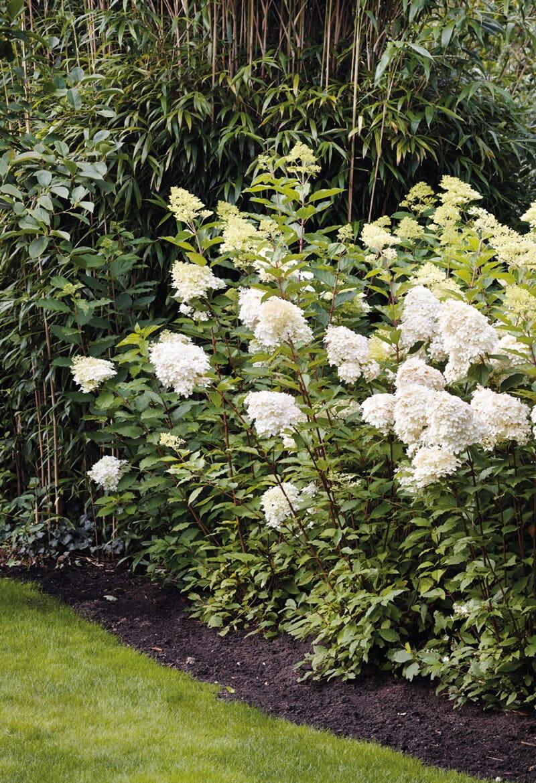 Hydrangea Living Phantom in a garden