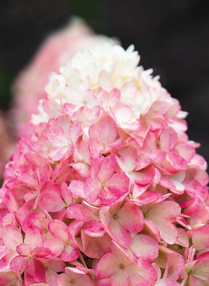 Hydrangea Living Raspberry Pink®