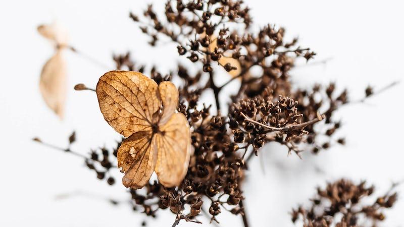 A winter-hardy Living Creations® Hydrangea