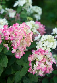 Hydrangea paniculata Living Diamant Rouge®
