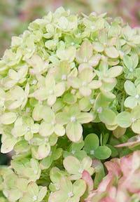 Hydrangea paniculata Living Little Lime®