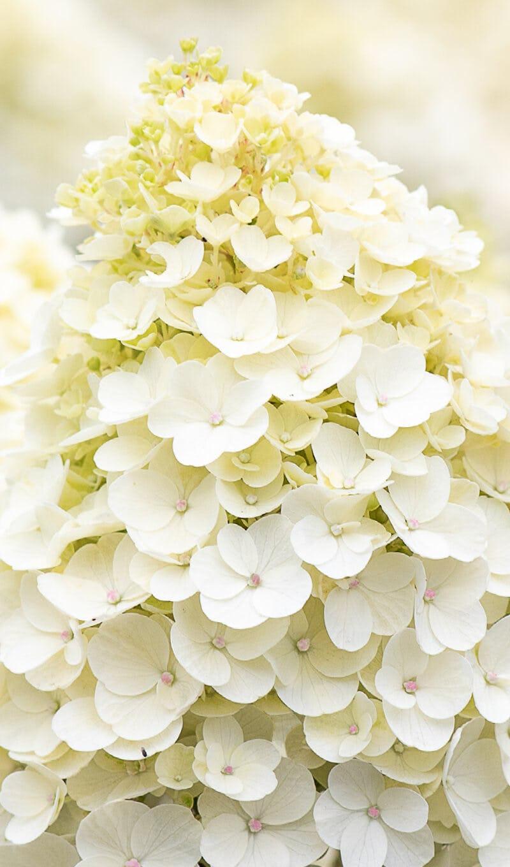 Hydrangea Living Little Blossom®