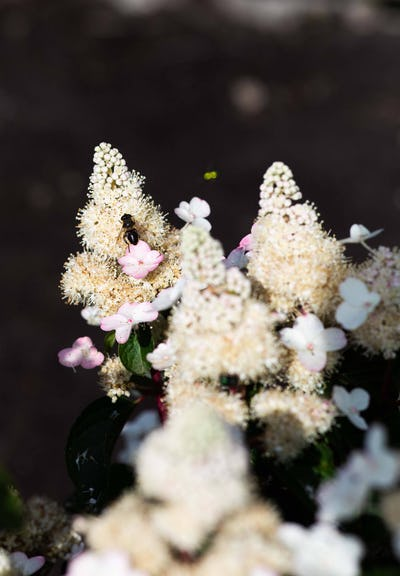 Hydrangea paniculata Living Infinity