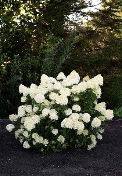Hydrangea paniculata Living Cotton Cream