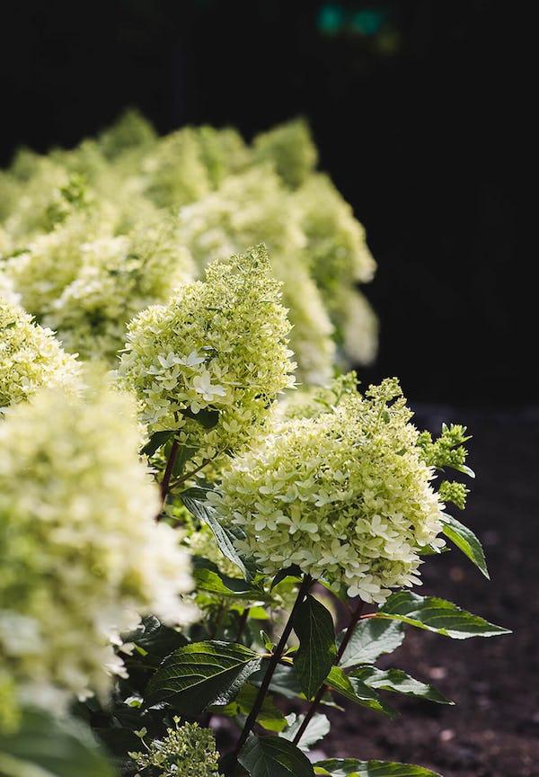 Hydrangea paniculata Living Royal Flower®