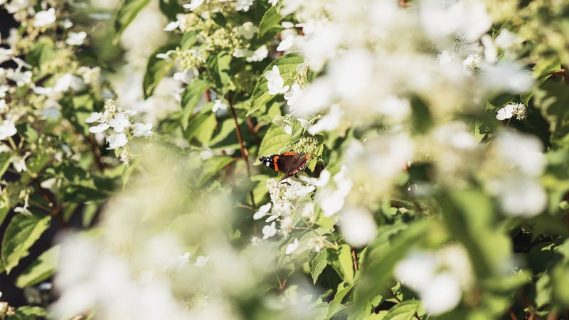 A butterfly visiting a Hydrangea Living Brussels Lace®