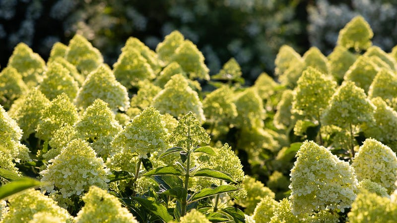 A Living Cotton Cream® Hydrangea in the summer