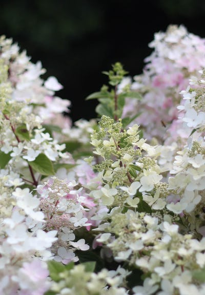 Hydrangea paniculata Living Angels Blush®