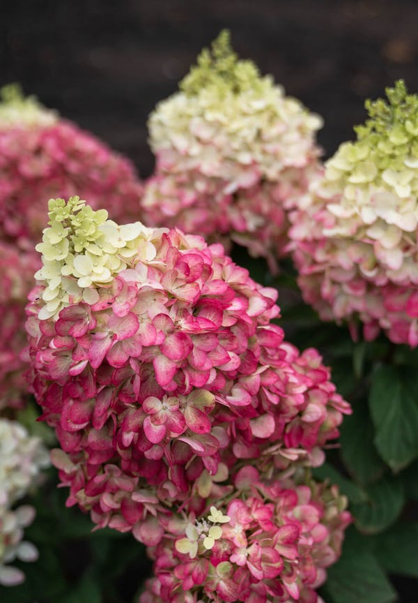 Hydrangea Living Colourful Cocktail®
