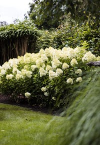 Hydrangea paniculata Living Summer Snow