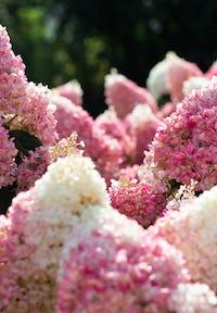 Hydrangea paniculata Living Strawberry Blossom®
