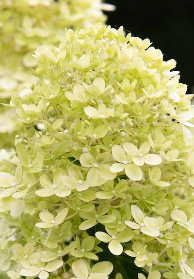 Hydrangea paniculata Living Little Passion®