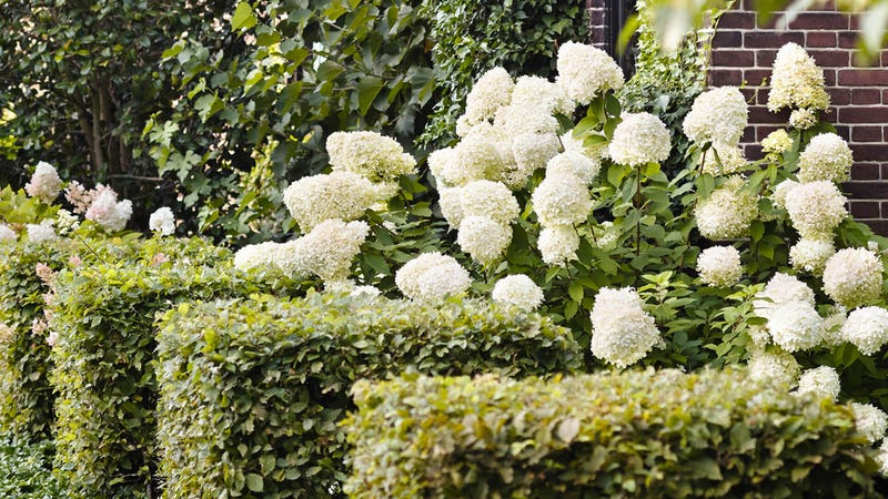 Hydrangea Living Summer Snow®