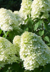 Hydrangea paniculata Living Limelight®