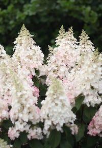 Hydrangea paniculata Living Pinky Winky®