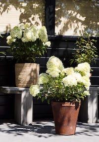 Hydrangea paniculata Living Little Passion