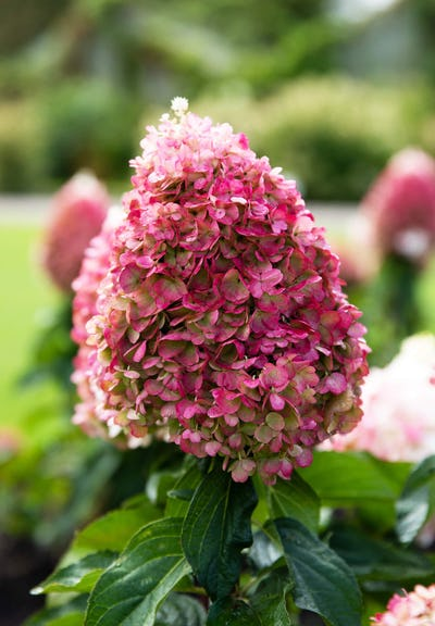 Hydrangea paniculata Living Pinky Promise