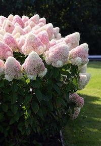 Hydrangea paniculata Living Summer Love®