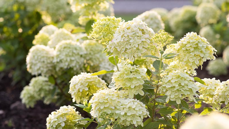 A Living Little Passion® Hydrangea in the summer
