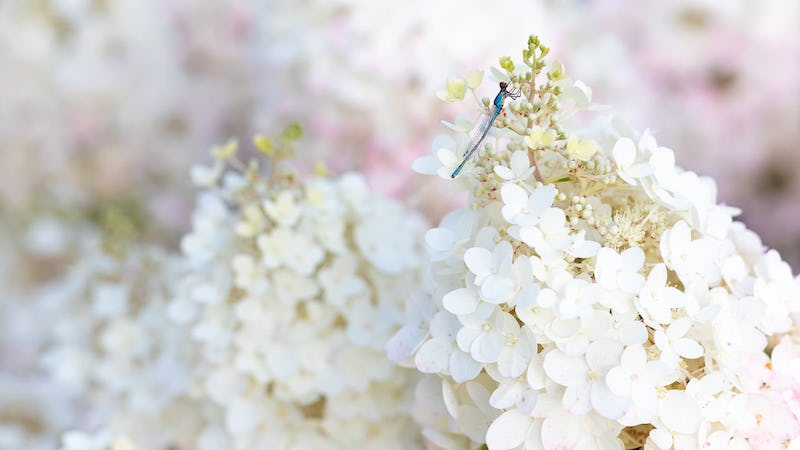 A Dragonfly visiting a Hydrangea Living Little Blossom®