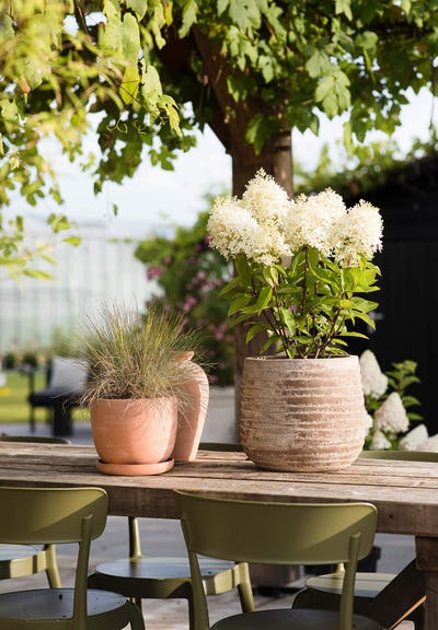 Hydrangea paniculata Living Royal Flower