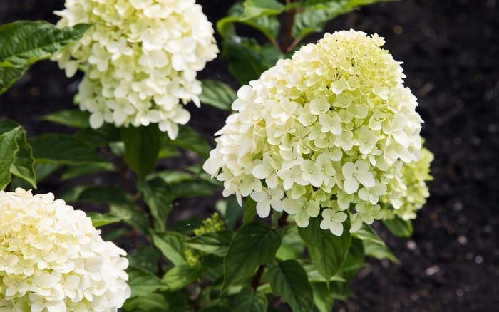 Planting a Living Creations® Hydrangea