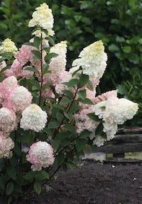Hydrangea paniculata Living Sundae Fraise®
