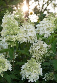Hydrangea paniculata Living Dolly®