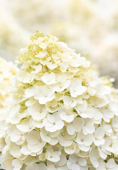 Hydrangea paniculata Living Little Blossom®