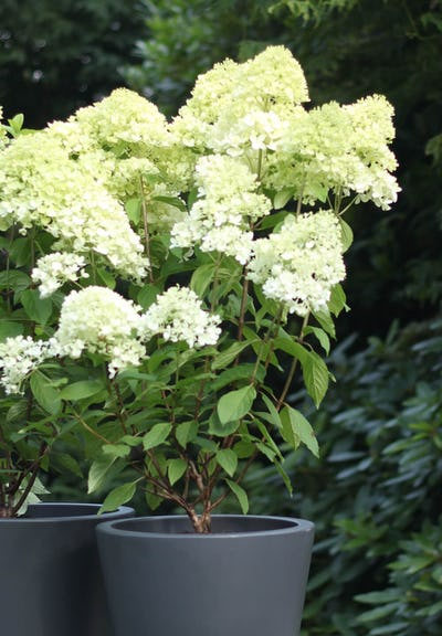 Hydrangea paniculata Living Magical Candle®