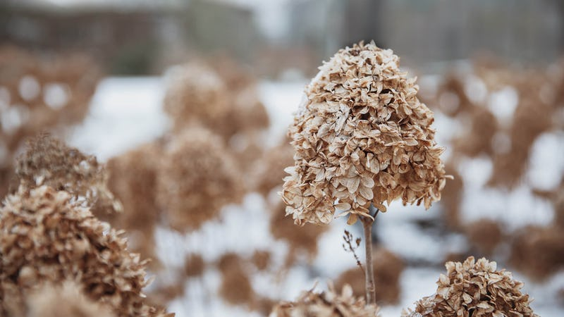 A Living Cotton Cream® Hydrangea in the winter