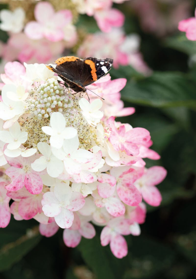 A butterfly visiting a Hydrangea Living Diamant Rouge