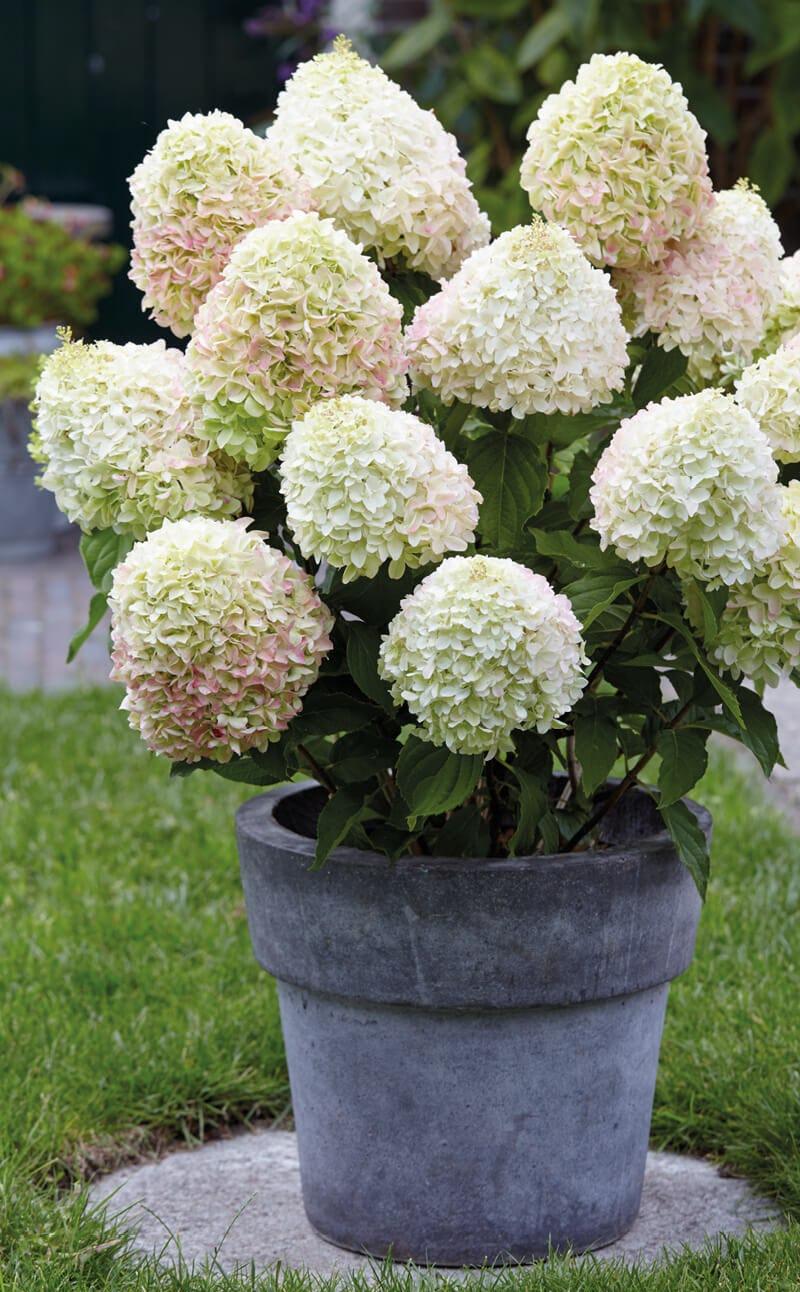 Hydrangea Living Summer Love® in pot