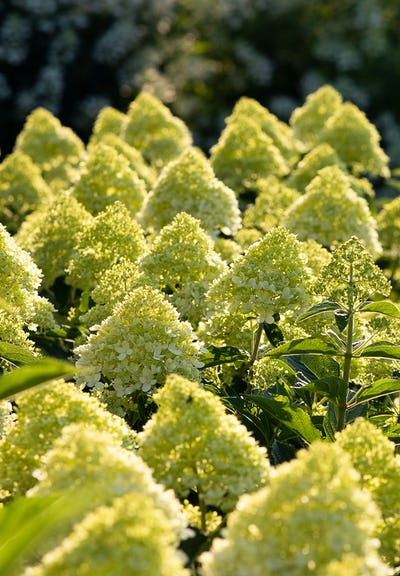 Hydrangea paniculata Living Cotton Cream®