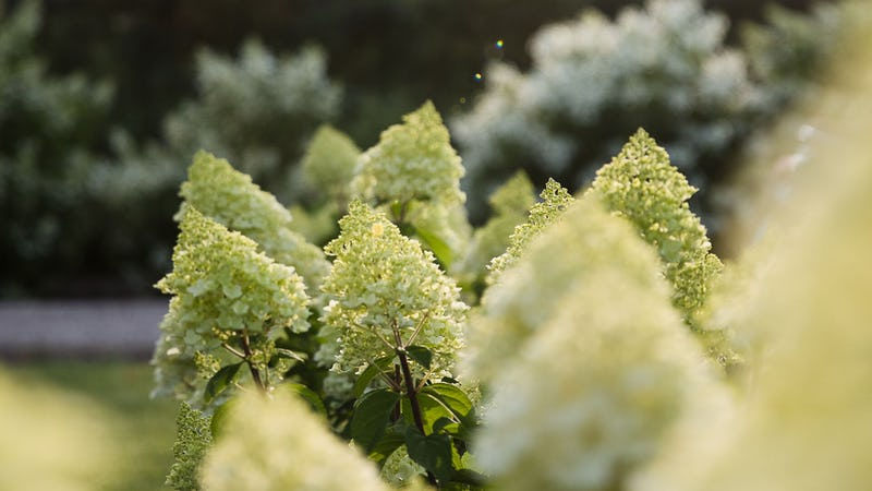 A Living Summer Snow® Hydrangea in the summer