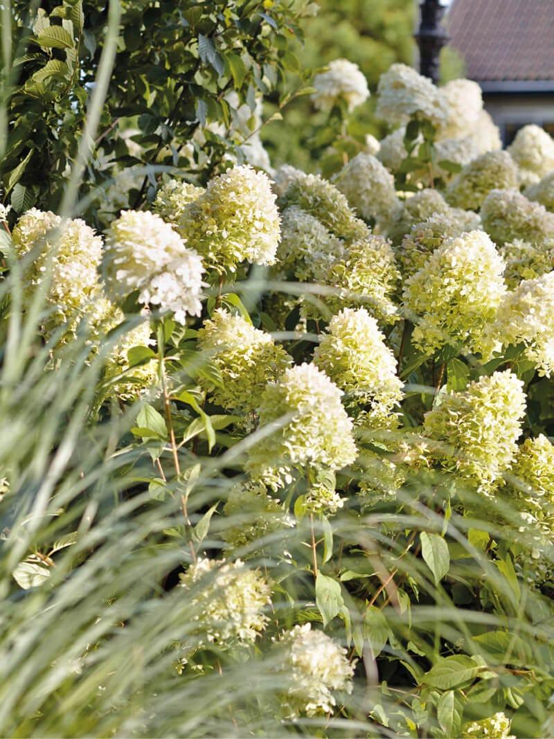 Hydrangea Living Summer Snow® in a garden